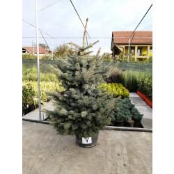Molid Argintiu NR. 01 (Picea Pungens Glauca)