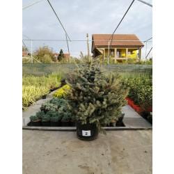 Molid Argintiu NR. 02 (Picea Pungens Glauca)