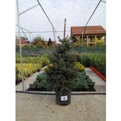 Molid Argintiu NR. 03 (Picea Pungens Glauca)
