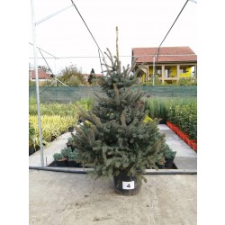 Molid Argintiu NR. 04 (Picea Pungens Glauca)