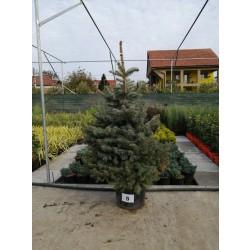 Molid Argintiu NR. 05 (Picea Pungens Glauca)