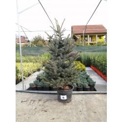Molid Argintiu NR. 06 (Picea Pungens Glauca)