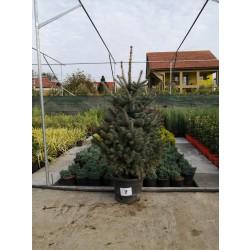 Molid Argintiu NR. 07 (Picea Pungens Glauca)