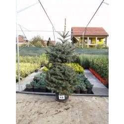 Molid Argintiu NR. 12 (Picea Pungens Glauca)