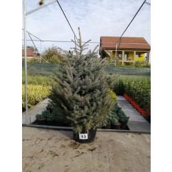 Molid Argintiu NR. 13 (Picea Pungens Glauca)