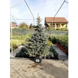 Molid Argintiu NR. 14 (Picea Pungens Glauca)