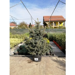 Molid Argintiu NR. 15 (Picea Pungens Glauca)