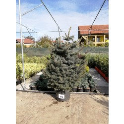 Molid Argintiu NR. 16 (Picea Pungens Glauca)
