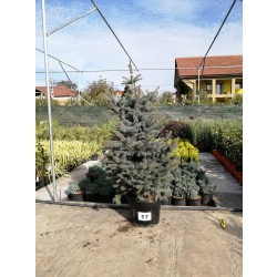 Molid Argintiu NR. 17 (Picea Pungens Glauca)