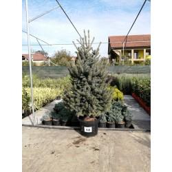 Molid Argintiu NR. 18 (Picea Pungens Glauca)
