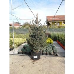 Molid Argintiu NR. 19 (Picea Pungens Glauca)
