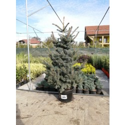 Molid Argintiu NR. 20 (Picea Pungens Glauca)