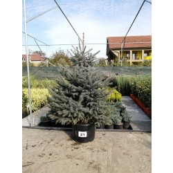 Molid Argintiu NR. 22 (Picea Pungens Glauca)