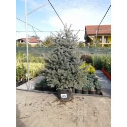Molid Argintiu NR. 23 (Picea Pungens Glauca)