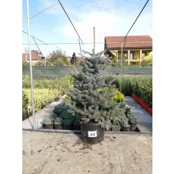 Molid Argintiu NR. 24 (Picea Pungens Glauca)