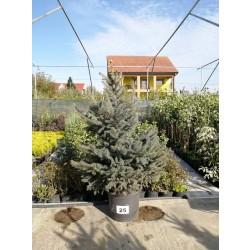 Molid Argintiu NR. 25 (Picea Pungens Glauca)