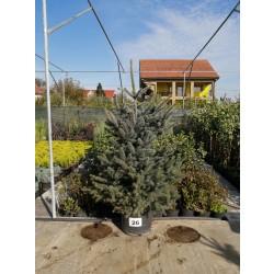 Molid Argintiu NR. 26 (Picea Pungens Glauca)