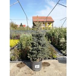 Molid Argintiu NR. 27 (Picea Pungens Glauca)