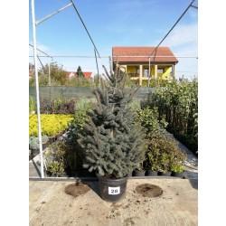 Molid Argintiu NR. 28 (Picea Pungens Glauca)