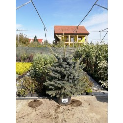 Molid Argintiu NR. 29 (Picea Pungens Glauca)