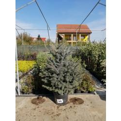 Molid Argintiu NR. 30 (Picea Pungens Glauca)