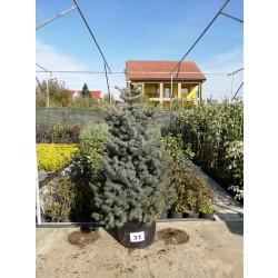 Molid Argintiu NR. 31 (Picea Pungens Glauca)