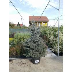 Molid Argintiu NR. 33 (Picea Pungens Glauca)