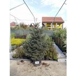 Molid Argintiu NR. 34 (Picea Pungens Glauca)