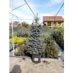 Molid Argintiu NR. 35 (Picea Pungens Glauca)