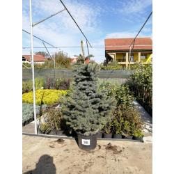 Molid Argintiu NR. 36 (Picea Pungens Glauca)