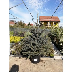 Molid Argintiu NR. 37 (Picea Pungens Glauca)