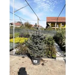 Molid Argintiu NR. 38 (Picea Pungens Glauca)