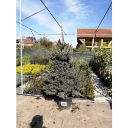 Molid Argintiu NR. 39 (Picea Pungens Glauca)
