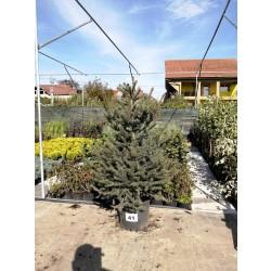 Molid Argintiu NR. 41 (Picea Pungens Glauca)
