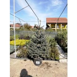 Molid Argintiu NR. 42 (Picea Pungens Glauca)
