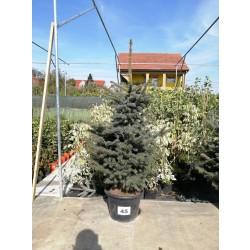 Molid Argintiu NR. 45 (Picea Pungens Glauca)