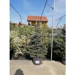 Molid Argintiu NR. 46 (Picea Pungens Glauca)