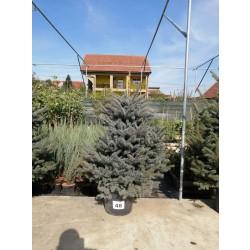 Molid Argintiu NR. 48 (Picea Pungens Glauca)