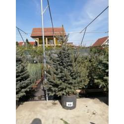 Molid Argintiu NR. 49 (Picea Pungens Glauca)