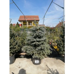 Molid Argintiu NR. 50 (Picea Pungens Glauca)