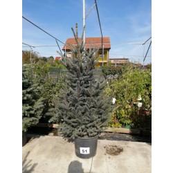 Molid Argintiu NR. 51 (Picea Pungens Glauca)