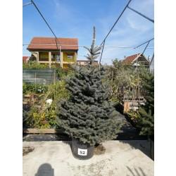 Molid Argintiu NR. 52 (Picea Pungens Glauca)