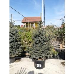 Molid Argintiu NR. 53 (Picea Pungens Glauca)