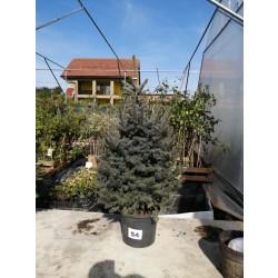 Molid Argintiu NR. 54 (Picea Pungens Glauca)