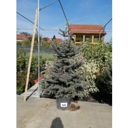 Molid Argintiu NR. 55 (Picea Pungens Glauca)
