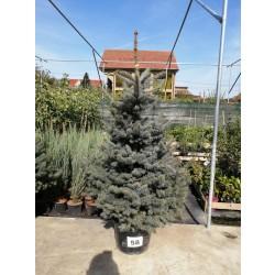 Molid Argintiu NR. 58 (Picea Pungens Glauca)