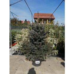 Molid Argintiu NR. 59 (Picea Pungens Glauca)