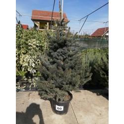 Molid Argintiu NR. 60 (Picea Pungens Glauca)