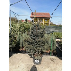 Molid Argintiu NR. 61 (Picea Pungens Glauca)
