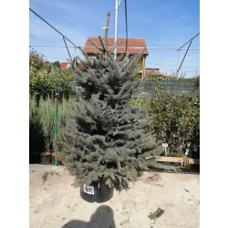 Molid Argintiu NR. 62 (Picea Pungens Glauca)